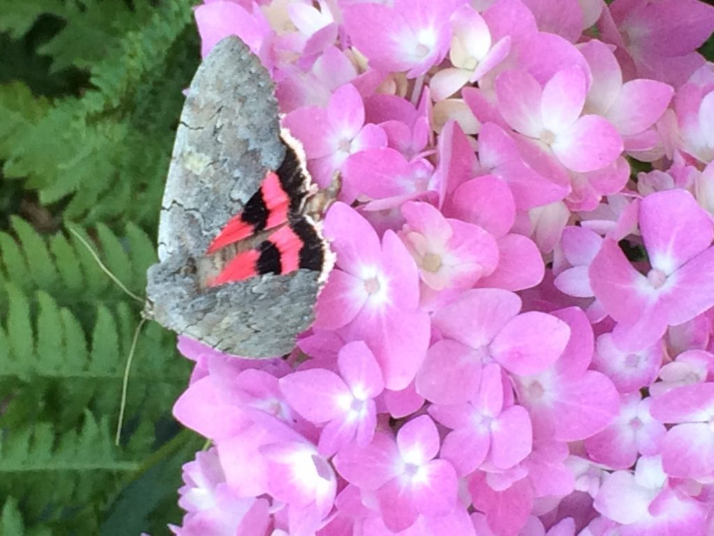 moth with pink wings